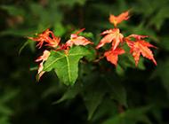 秋天的枫叶摄影图片