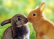 萌萌的小兔子动物接吻图片
