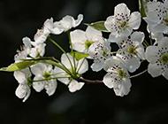纯白的梨花高清图片赏析