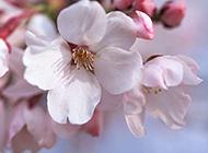 微距樱花摄影图片赏析