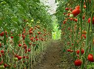 绿色有机蔬菜大棚摄影图片