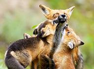 可爱的狐狸一家人动物图片