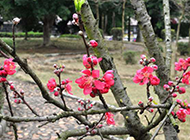 公园里好看的桃花图片