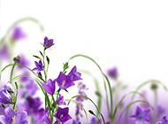 唯美紫斑风铃草图片素材