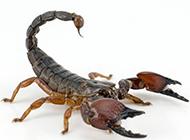 最毒的蝎子高清特写图片
