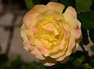如诗如画的黄色玫瑰图片素材