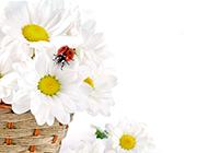 竹篮里的纯净白色菊花图片
