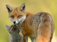 可爱的狐狸高清摄影图片