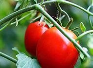 鲜红的番茄高清图片赏析