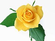 漂亮的黄玫瑰图片素材