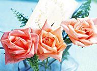 被露珠滋润的香槟玫瑰图片