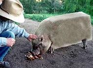 奇葩动物图片之吓方了的猪