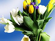 五彩的郁金香盆景图片