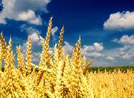 蓝天白云下金色的麦田图片