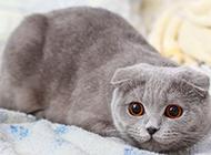 可爱的纯灰色折耳猫图片