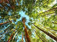 夏天的树林仰拍摄影图片