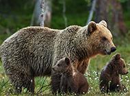 草地玩耍的可爱棕熊动物壁纸图片