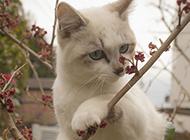 可爱的蓝眼小白猫图片