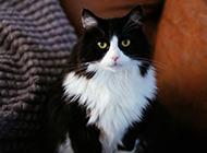 萌萌的黑白色猫咪图片