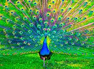 华美的孔雀开屏高清图片