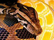 颜色犀利凶猛的巨蟒蛇图片