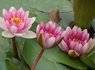 婀娜多姿的深粉色莲花图片