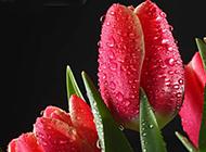 布满水珠的红色郁金香图片
