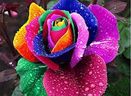 娇媚的一朵七彩玫瑰花图片