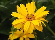 唯美黄色菊花图片赏析