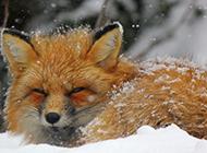 雪地里可爱的狐狸图片