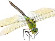 轻盈的蜻蜓高清图片素材