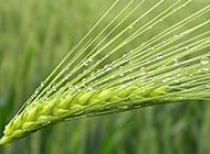 雨后的小麦高清图片