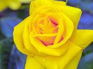 美丽动人的黄玫瑰高清壁纸