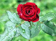 盛开的雨后鲜红玫瑰花图片
