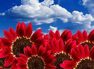 蓝天白云下的酒红色雏菊图片
