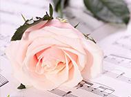 一只躺在乐谱上的粉色玫瑰图片