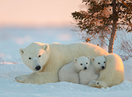 冬天雪地里可爱的北极熊图片