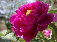 唯美的紫色牡丹花摄影图片