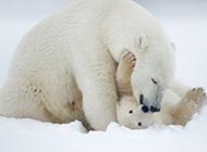 可爱呆萌的北极熊图片