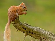 树林里可爱的小松鼠图片