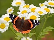 花朵上的蝴蝶高清摄影图片