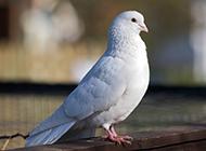 纯洁优雅的白色信鸽图片
