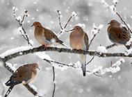 雪枝上的野生保护鸟类图片