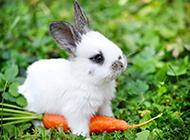 超萌可爱小兔子精美壁纸