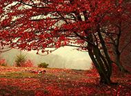秋天的枫树唯美景色图片