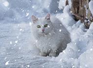 可爱的萌宠白色小猫咪图片