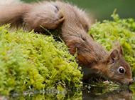 喝水的呆萌小松鼠图片