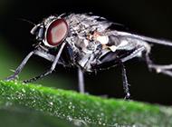 微距下的苍蝇高清图片