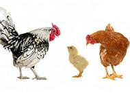 会下蛋的母鸡高清动物图片