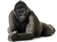 表情搞怪的大猩猩动物壁纸